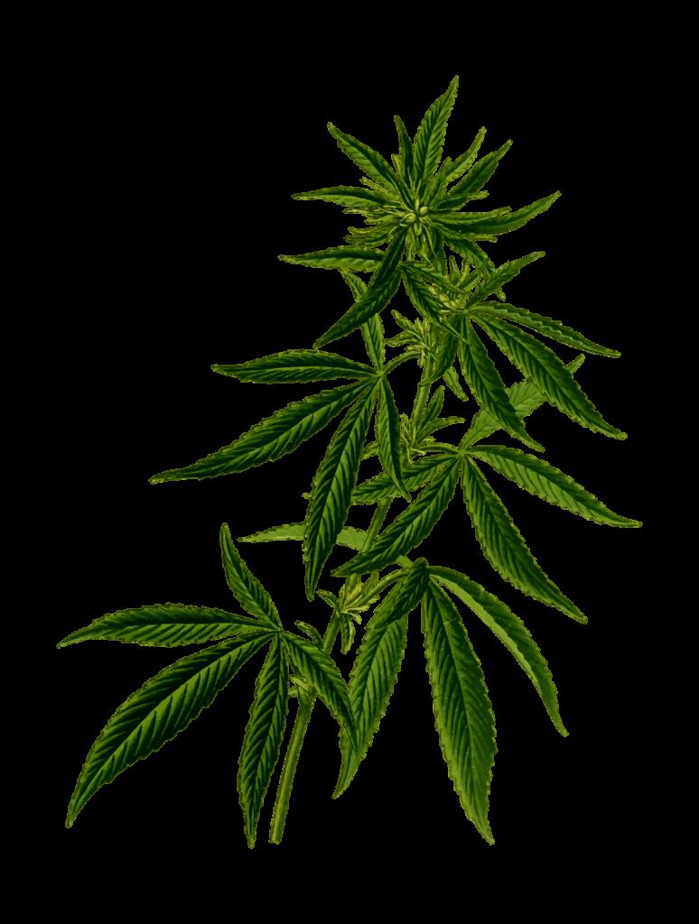 cannabis-2028244_1280-1