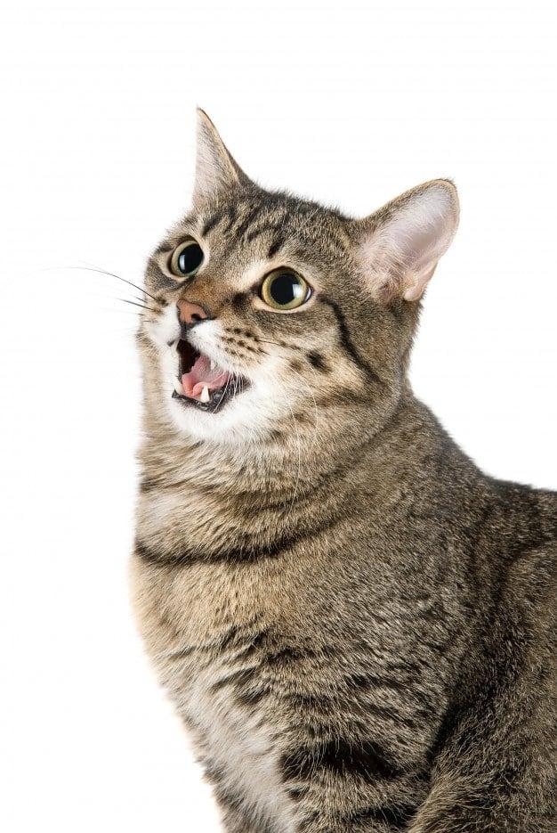 CBD-voor-katten